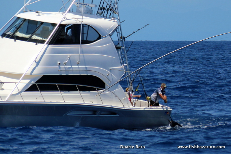Great Barrier Reef Black Marlin display of force