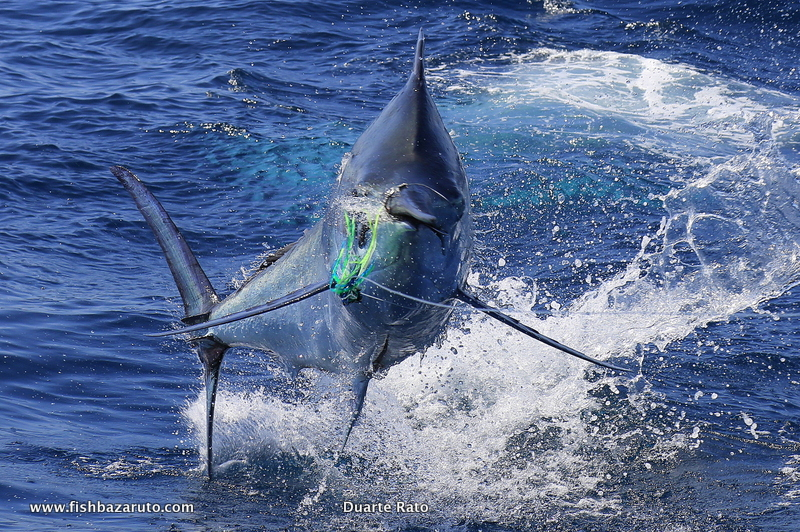 Catch a marlin on lure with Captain Duarte Rato