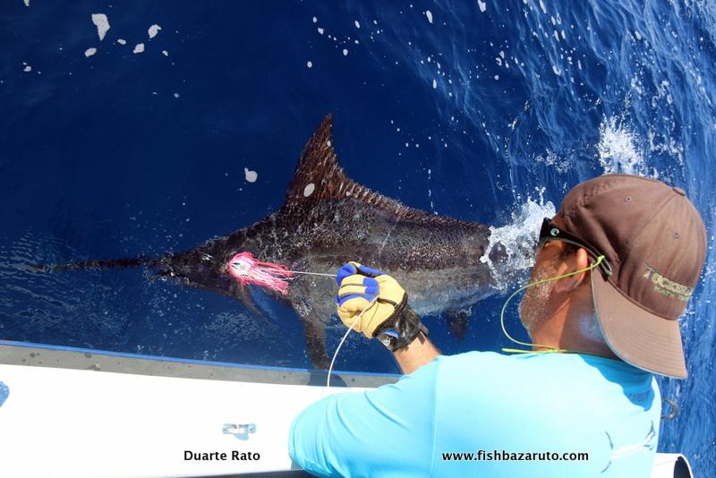 Blue Marlin released off Inhaca